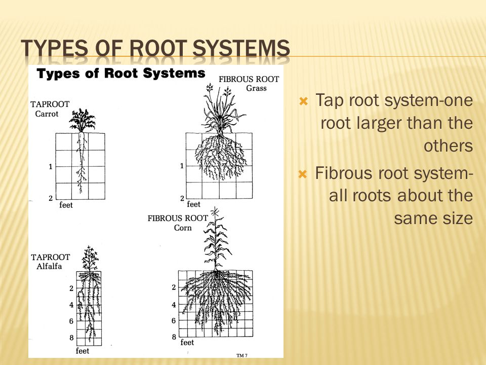  Tap root system-one root larger than the others  Fibrous root system- all roots about the same size