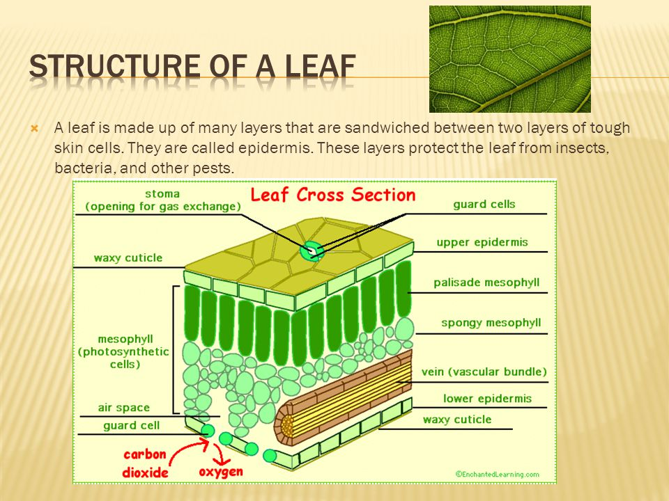  A leaf is made up of many layers that are sandwiched between two layers of tough skin cells.