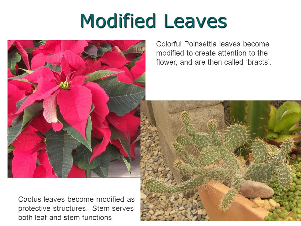 Modified Leaves Colorful Poinsettia leaves become modified to create attention to the flower, and are then called 'bracts'.
