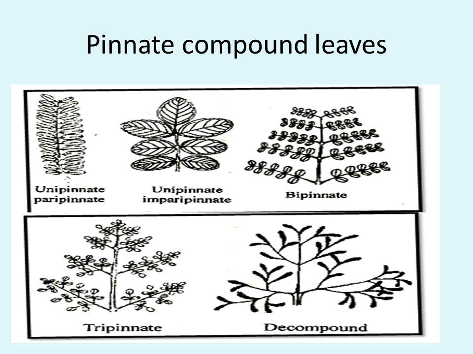 Pinnate compound leaves