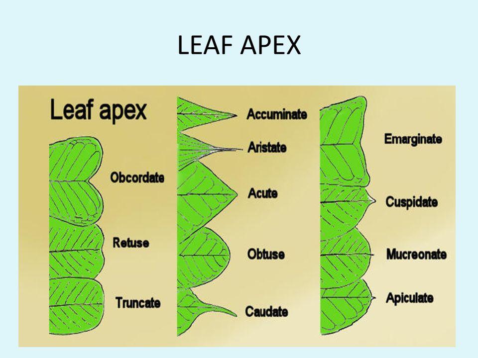 LEAF APEX