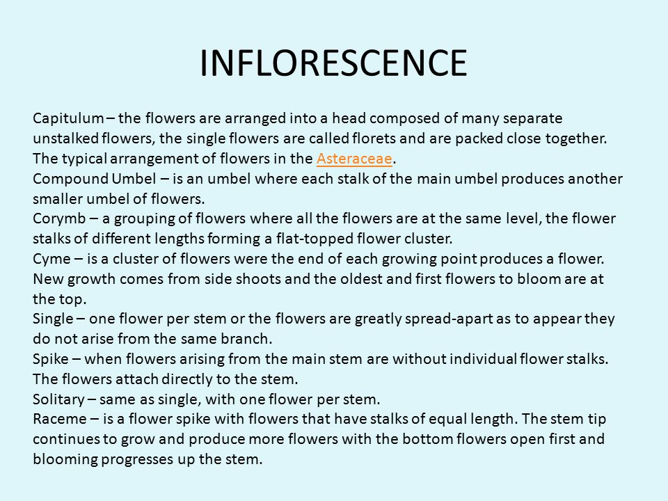 INFLORESCENCE Capitulum – the flowers are arranged into a head composed of many separate unstalked flowers, the single flowers are called florets and