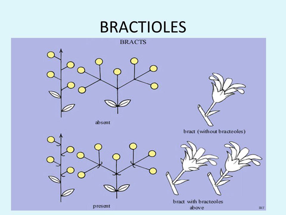 BRACTIOLES
