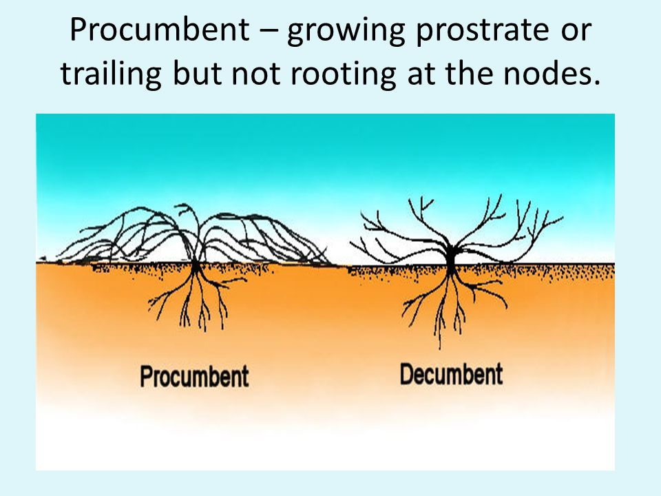 Procumbent – growing prostrate or trailing but not rooting at the nodes.