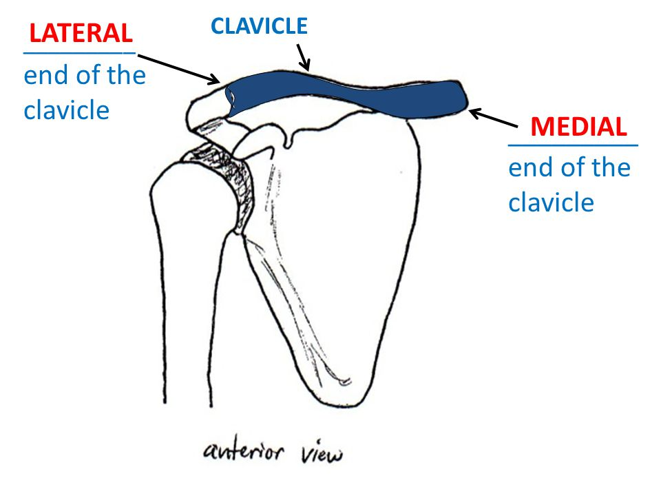 CLAVICLE _________ end of the clavicle LATERAL MEDIAL