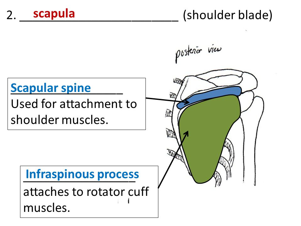Scapular spine Infraspinous process 2. ________________________ (shoulder blade) scapula _________________ Used for attachment to shoulder muscles. __