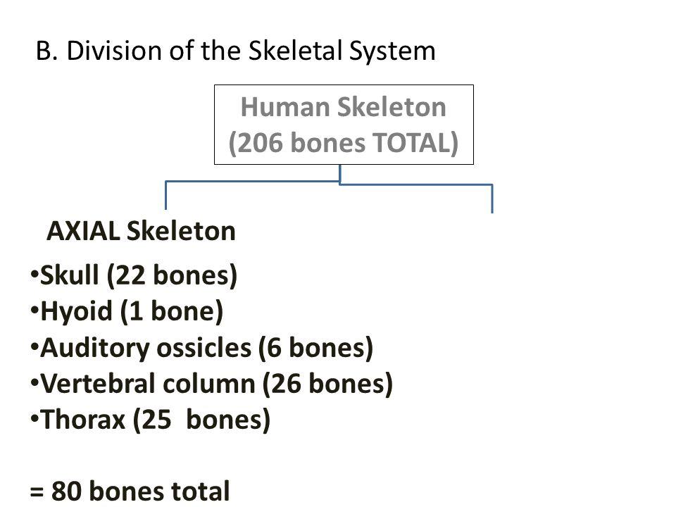 Human Skeleton (206 bones TOTAL) Skull (22 bones) Hyoid (1 bone) Auditory ossicles (6 bones) Vertebral column (26 bones) Thorax (25 bones) = 80 bones