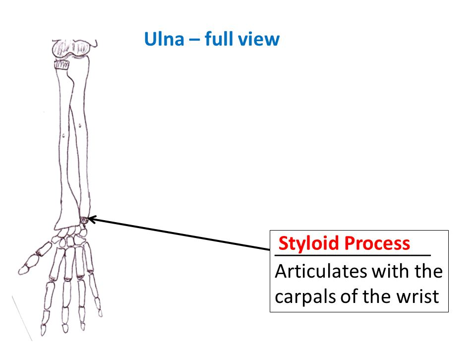 Ulna – full view Styloid Process _______________ Articulates with the carpals of the wrist