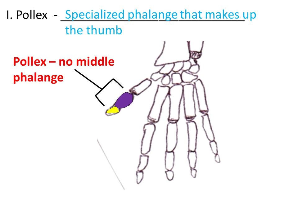 Pollex – no middle phalange I.