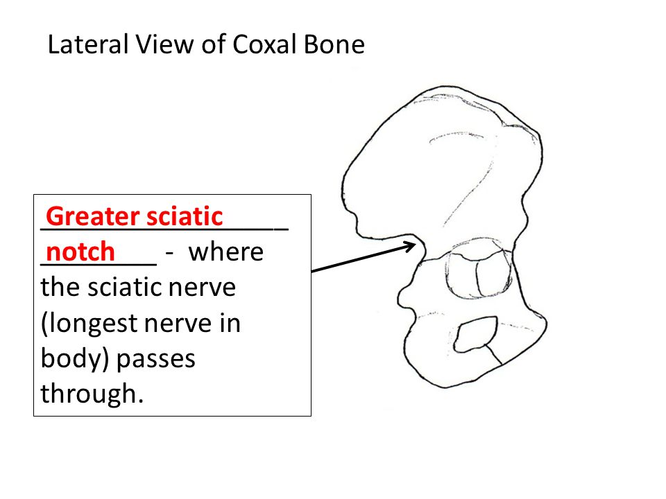 Lateral View of Coxal Bone _________________ ________ - where the sciatic nerve (longest nerve in body) passes through.