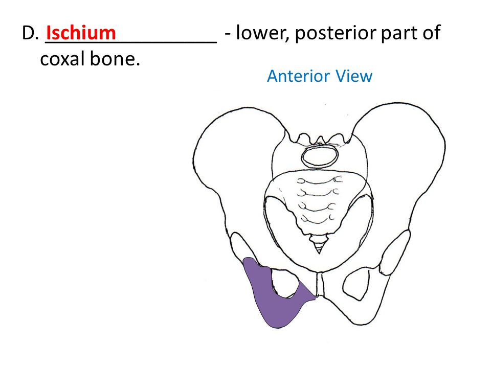 Anterior View D. ________________ - lower, posterior part of coxal bone. Ischium