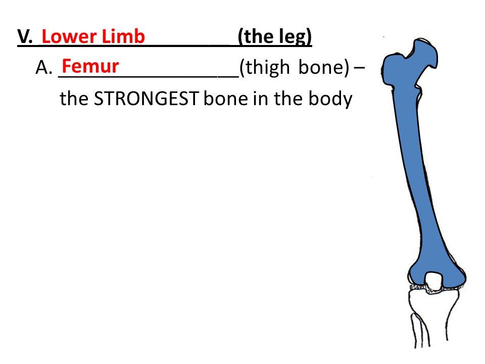 V. __________________ (the leg) A. _________________(thigh bone) – the STRONGEST bone in the body Lower Limb Femur