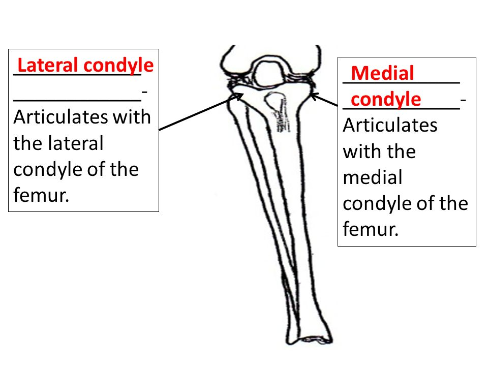 ____________ ____________- Articulates with the lateral condyle of the femur.