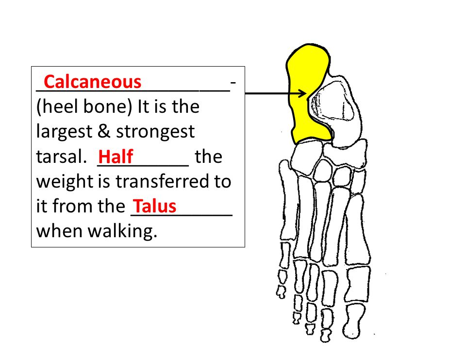 ___________________- (heel bone) It is the largest & strongest tarsal.