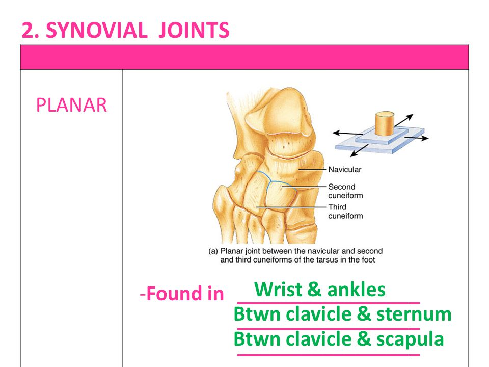 PLANAR -Found in _________________ _________________ Wrist & ankles Btwn clavicle & sternum Btwn clavicle & scapula 2. SYNOVIAL JOINTS