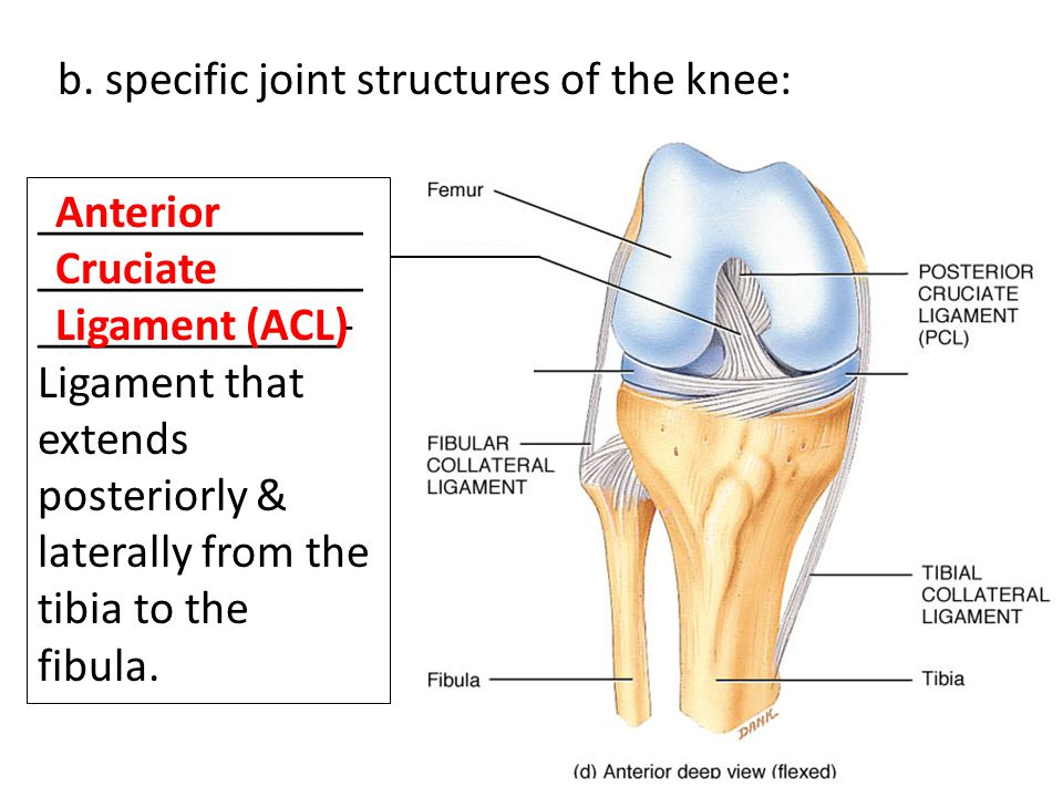 b. specific joint structures of the knee: ______________ ______________ _____________- Ligament that extends posteriorly & laterally from the tibia to