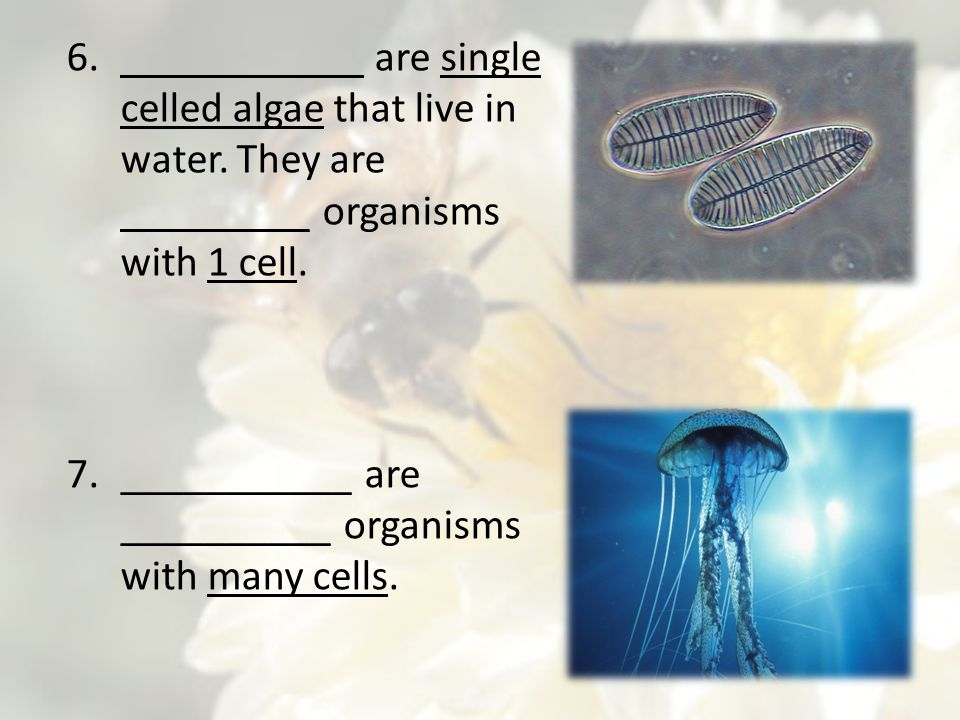 7.___________ are __________ organisms with many cells. 6.___________ are single celled algae that live in water. They are _________ organisms with 1