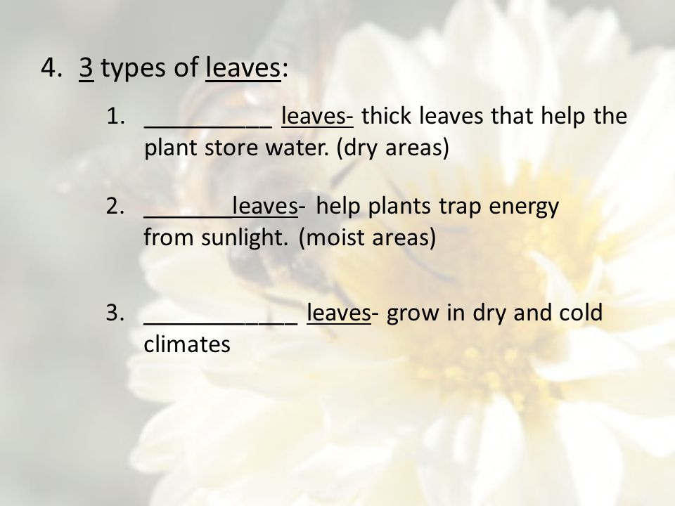 4.3 types of leaves: 1.__________ leaves- thick leaves that help the plant store water. (dry areas) 2._______leaves- help plants trap energy from sunl