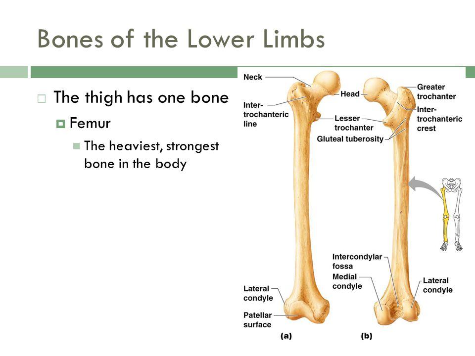 Bones of the Lower Limbs  The thigh has one bone  Femur The heaviest, strongest bone in the body