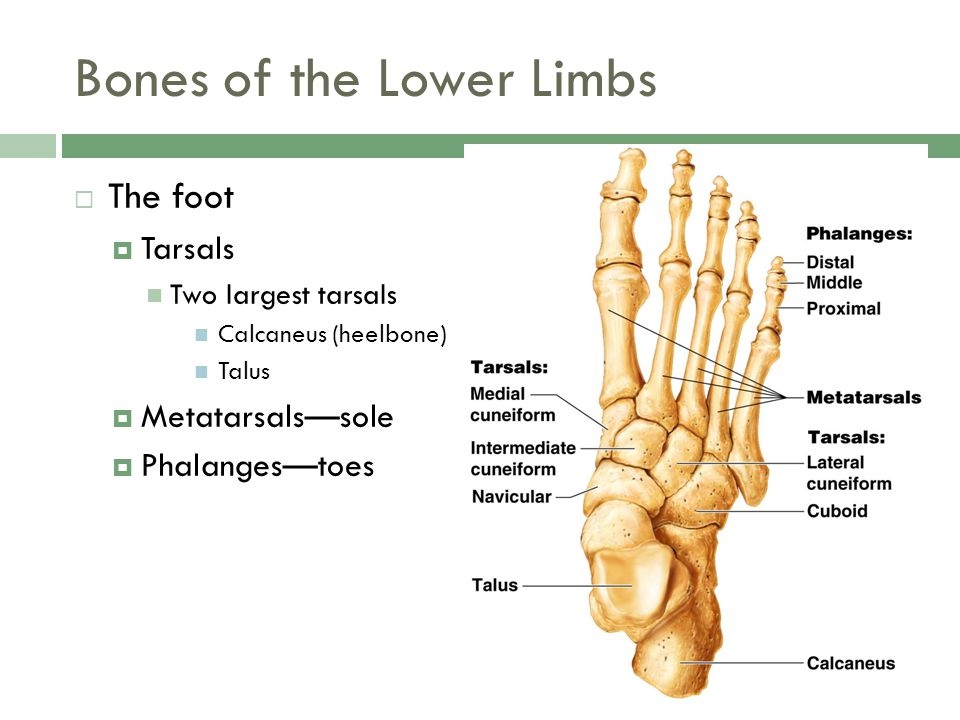 Bones of the Lower Limbs  The foot  Tarsals Two largest tarsals Calcaneus (heelbone) Talus  Metatarsals—sole  Phalanges—toes