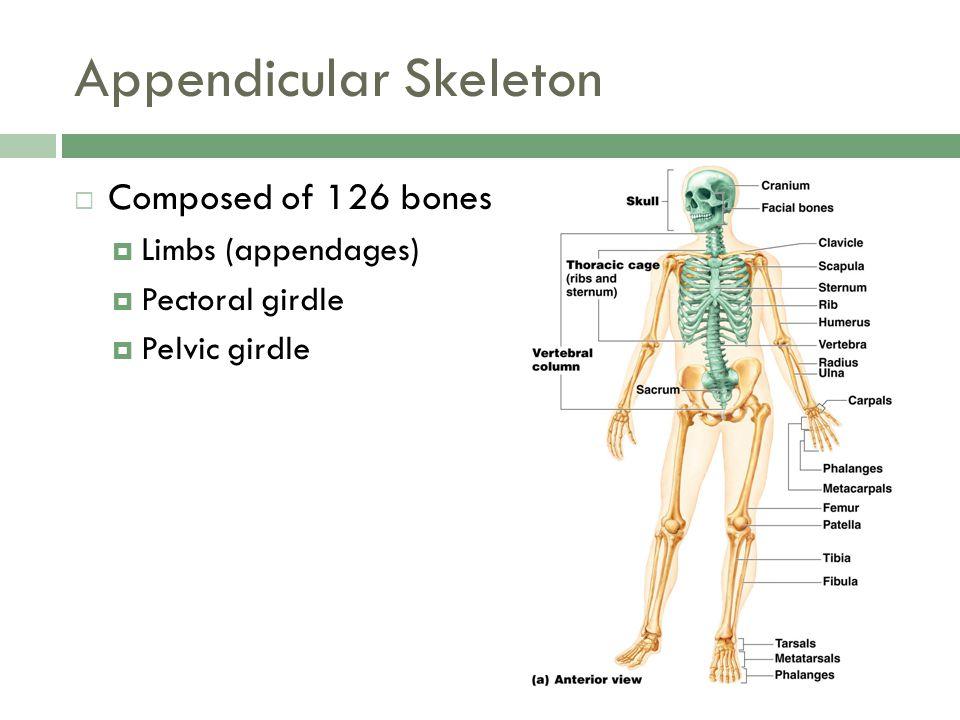 Appendicular Skeleton  Composed of 126 bones  Limbs (appendages)  Pectoral girdle  Pelvic girdle