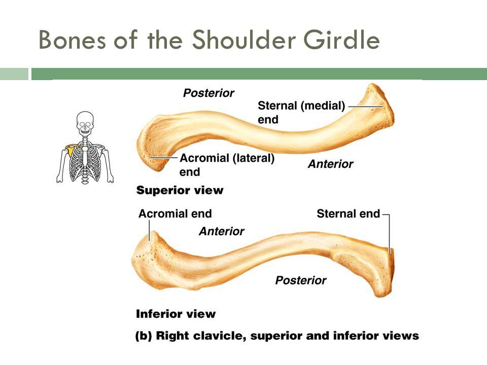 Bones of the Shoulder Girdle