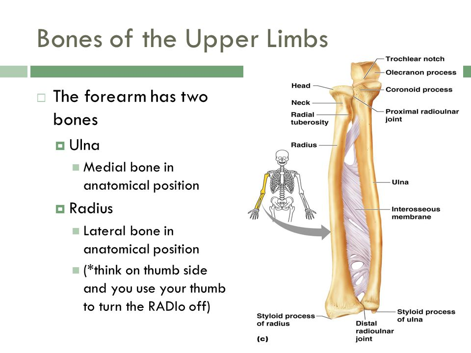 Bones of the Upper Limbs  The forearm has two bones  Ulna Medial bone in anatomical position  Radius Lateral bone in anatomical position (*think on