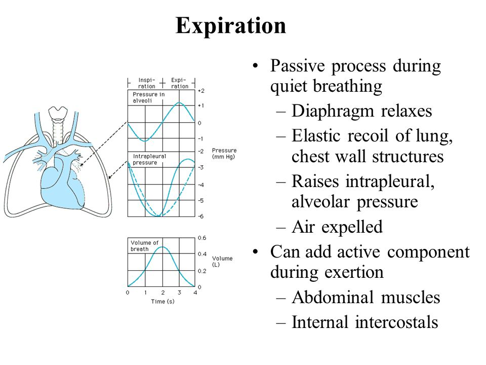 Expiration Passive process during quiet breathing –Diaphragm relaxes –Elastic recoil of lung, chest wall structures –Raises intrapleural, alveolar pressure –Air expelled Can add active component during exertion –Abdominal muscles –Internal intercostals