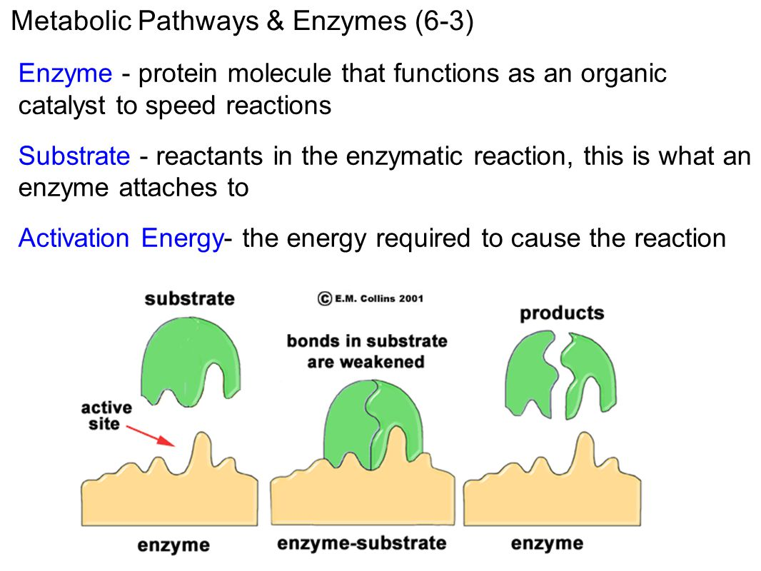 Metabolic Pathways & Enzymes (6-3) Enzyme - protein molecule that functions as an organic catalyst to speed reactions Substrate - reactants in the enz