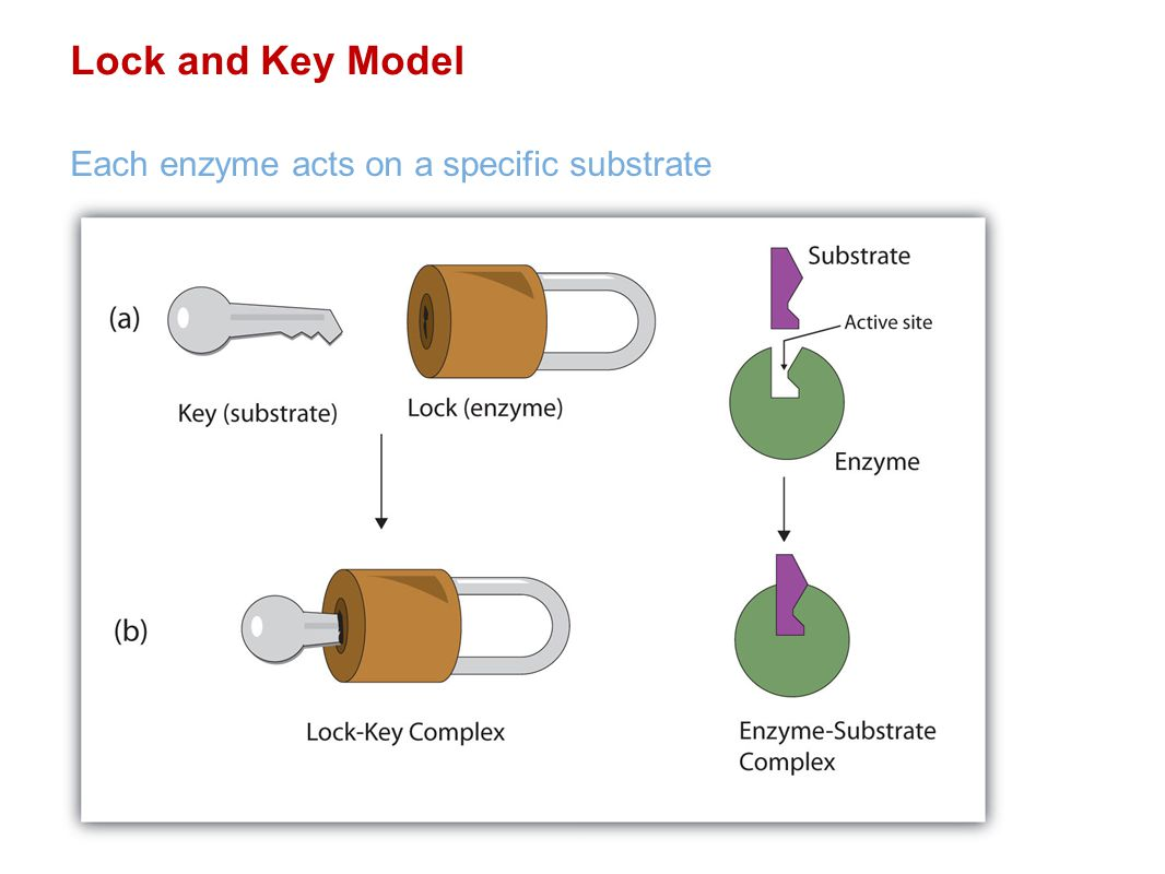 Lock and Key Model Each enzyme acts on a specific substrate