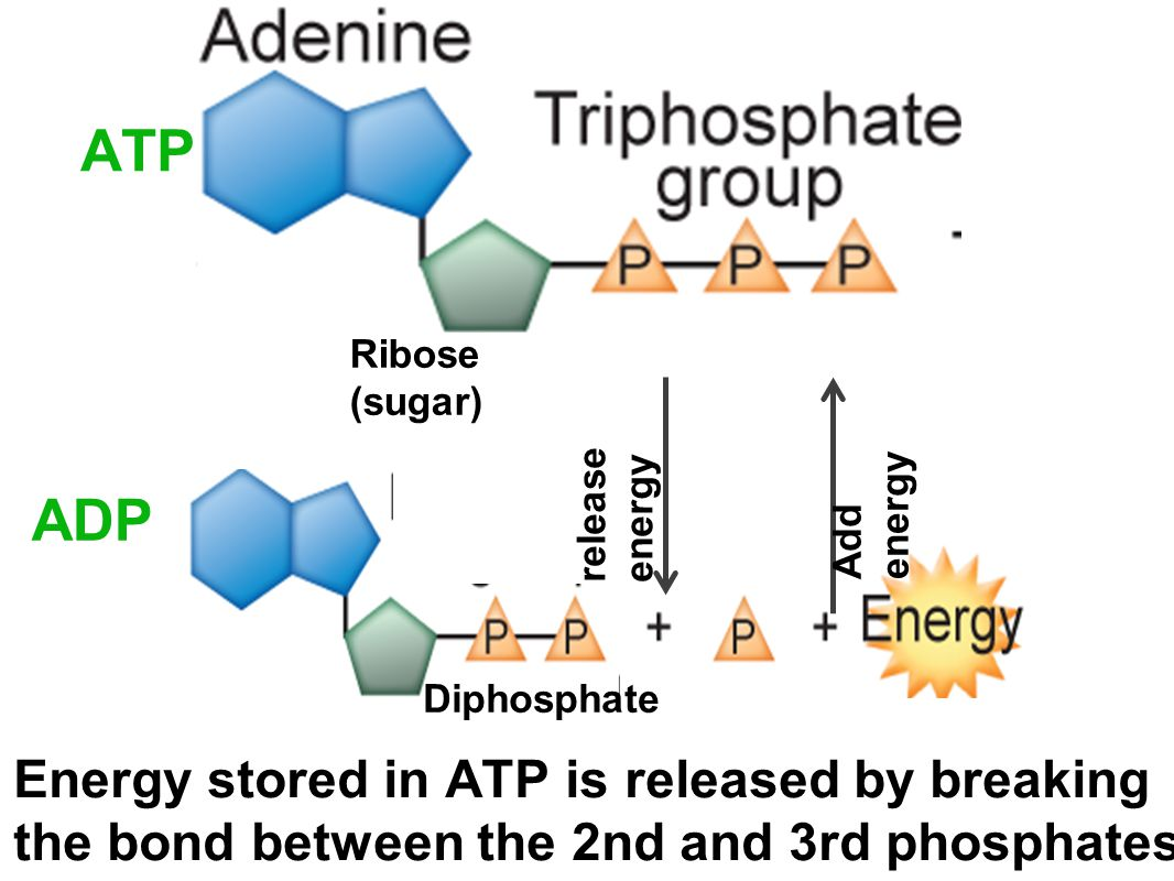 ADP ATP Ribose (sugar) release energy Add energy Diphosphate Energy stored in ATP is released by breaking the bond between the 2nd and 3rd phosphates.