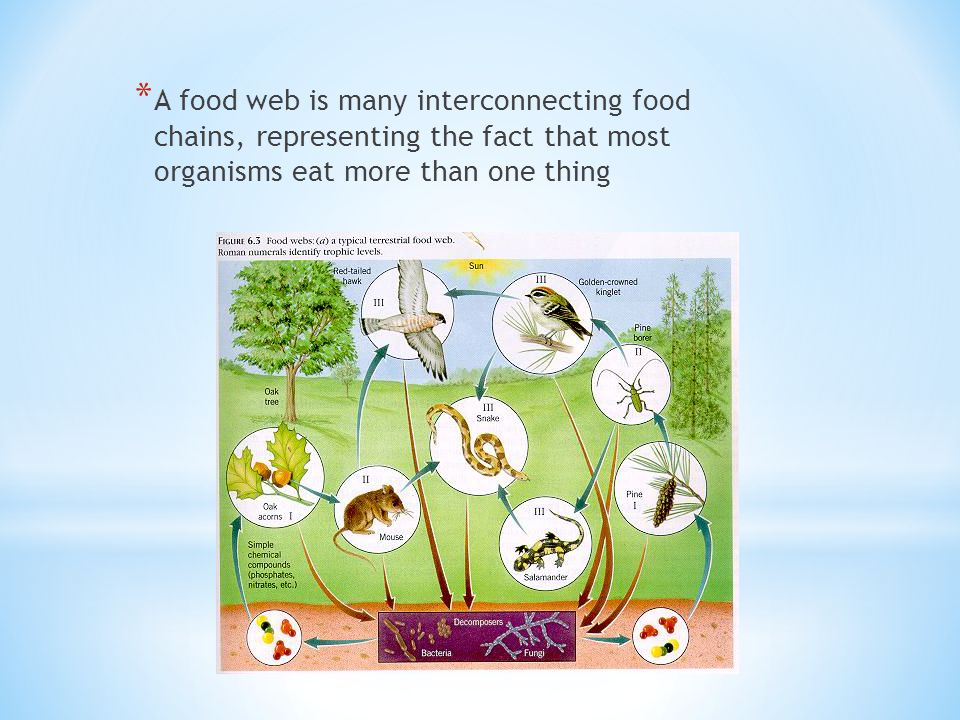* A food web is many interconnecting food chains, representing the fact that most organisms eat more than one thing
