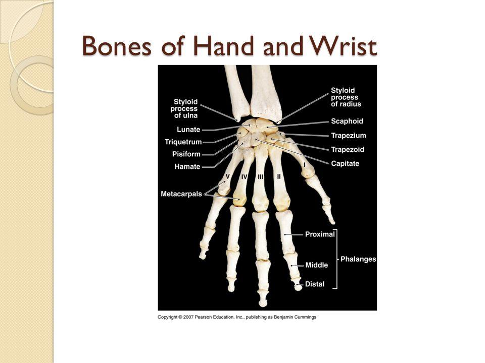 Bones of Hand and Wrist