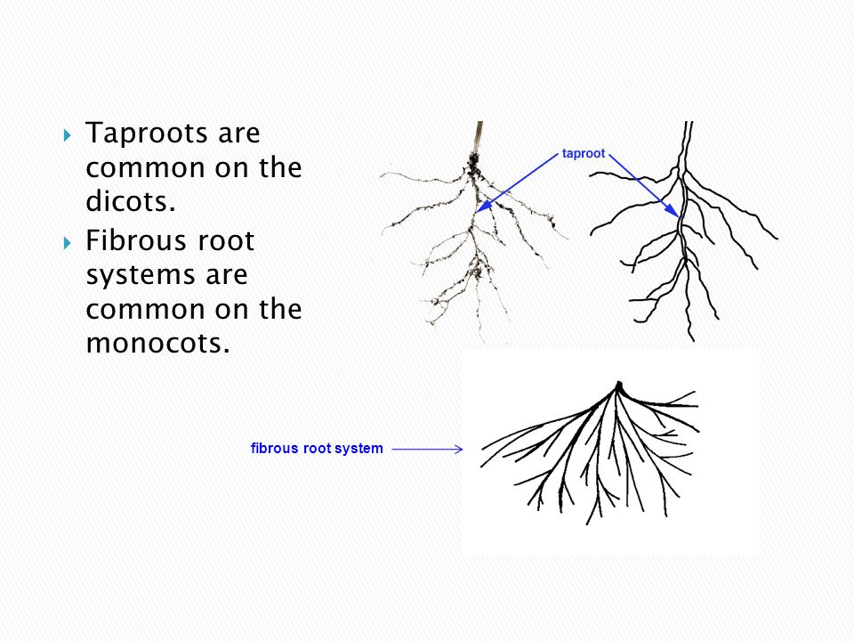  Taproots are common on the dicots.  Fibrous root systems are common on the monocots.