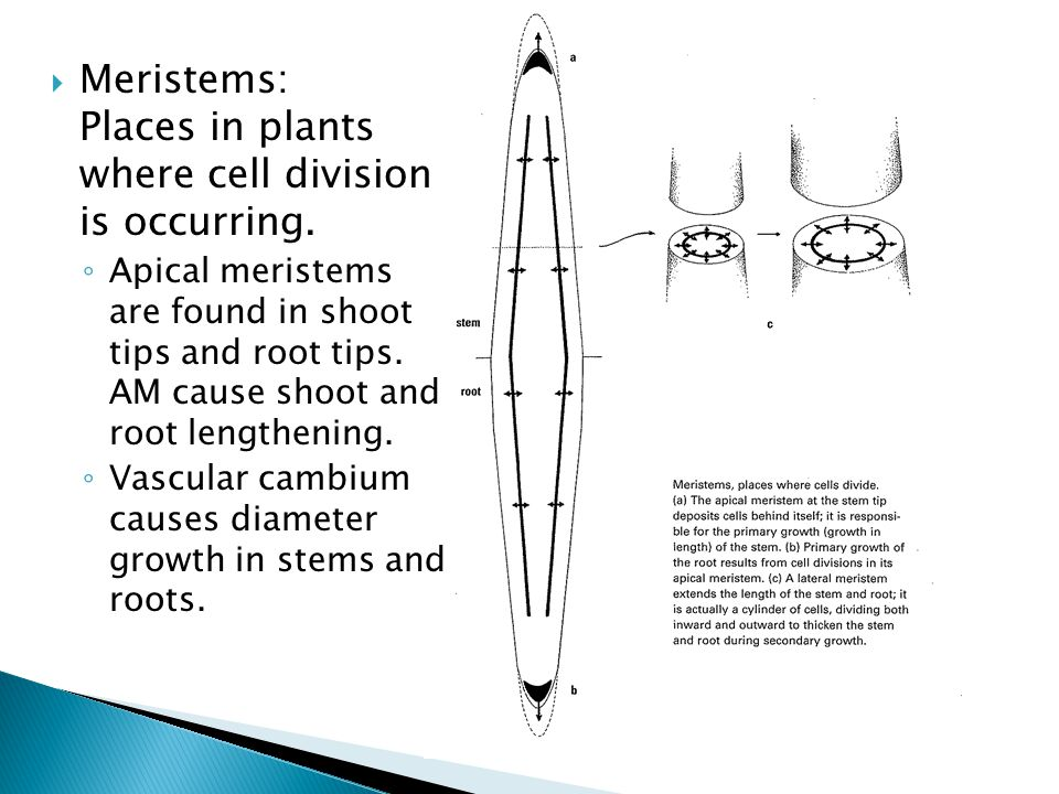  Meristems: Places in plants where cell division is occurring.