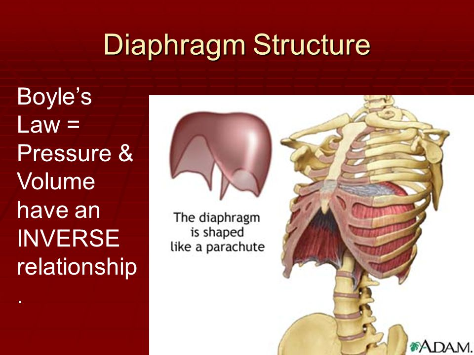 Diaphragm Structure Boyle's Law = Pressure & Volume have an INVERSE relationship.