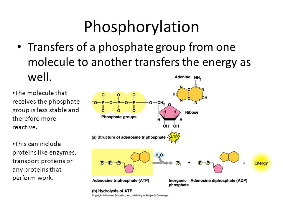 Phosphorylation Transfers of a phosphate group from one molecule to another transfers the energy as well.