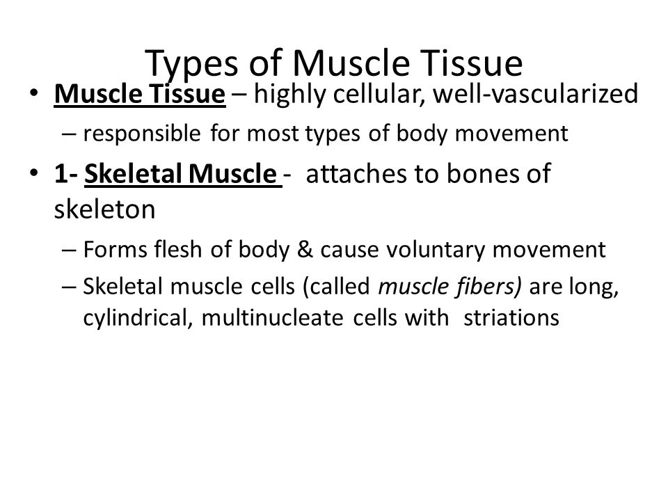 Types of Muscle Tissue Muscle Tissue – highly cellular, well-vascularized – responsible for most types of body movement 1- Skeletal Muscle - attaches to bones of skeleton – Forms flesh of body & cause voluntary movement – Skeletal muscle cells (called muscle fibers) are long, cylindrical, multinucleate cells with striations