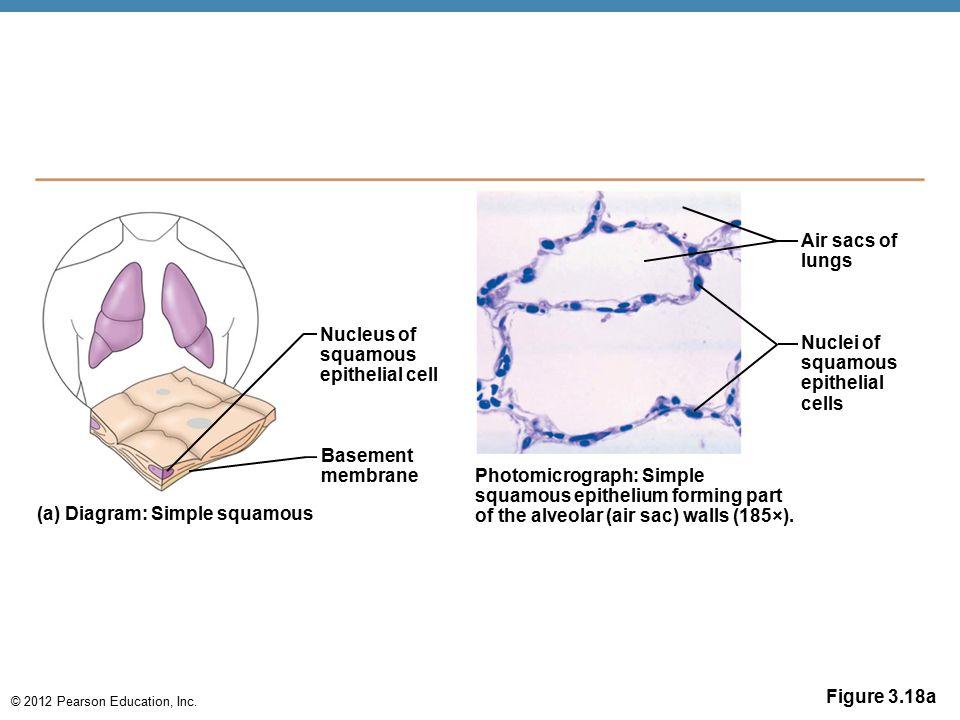 © 2012 Pearson Education, Inc. Figure 3.18a Nucleus of squamous epithelial cell Basement membrane (a) Diagram: Simple squamous Photomicrograph: Simple