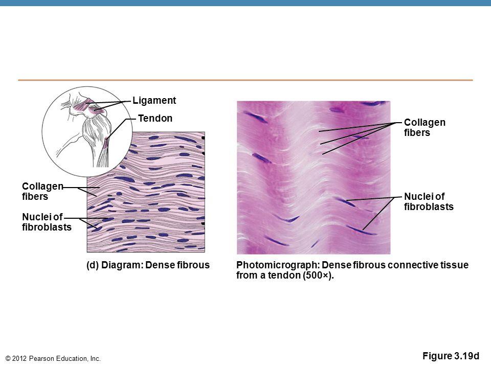 © 2012 Pearson Education, Inc. Figure 3.19d Ligament Tendon Collagen fibers Nuclei of fibroblasts (d) Diagram: Dense fibrous Photomicrograph: Dense fi