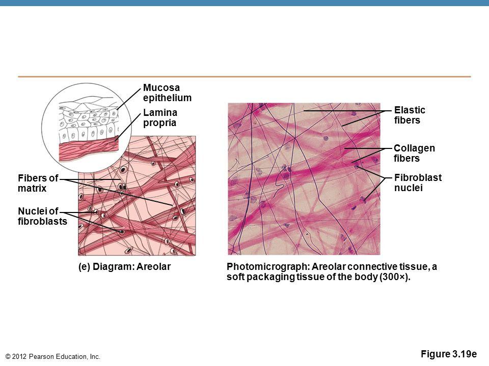 © 2012 Pearson Education, Inc. Figure 3.19e Mucosa epithelium Lamina propria Fibers of matrix Nuclei of fibroblasts (e) Diagram: Areolar Photomicrogra
