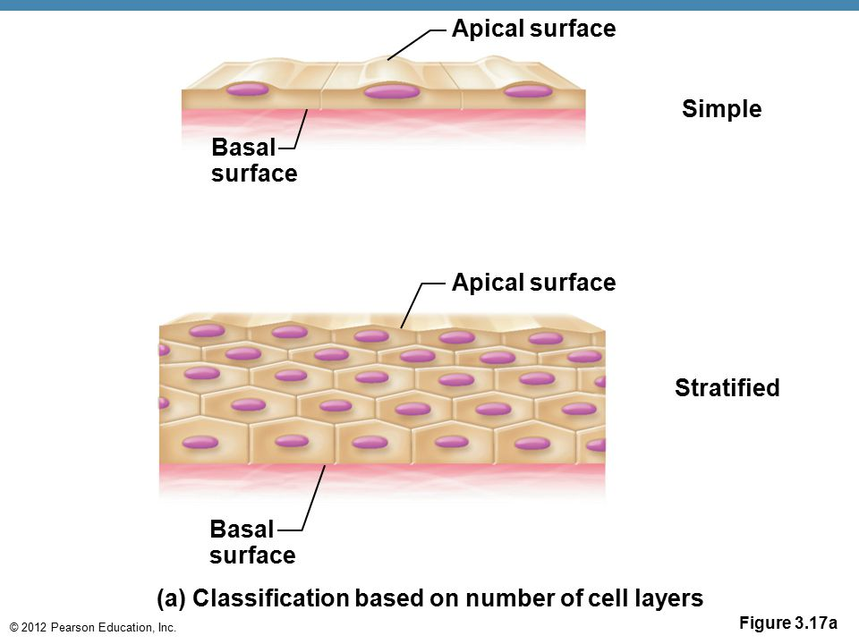 © 2012 Pearson Education, Inc. Apical surface Basal surface Simple Apical surface Basal surface Stratified (a) Classification based on number of cell