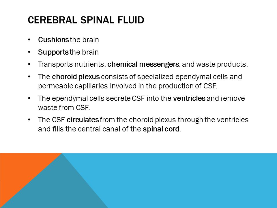 CEREBRAL SPINAL FLUID Cushions the brain Supports the brain Transports nutrients, chemical messengers, and waste products. The choroid plexus consists