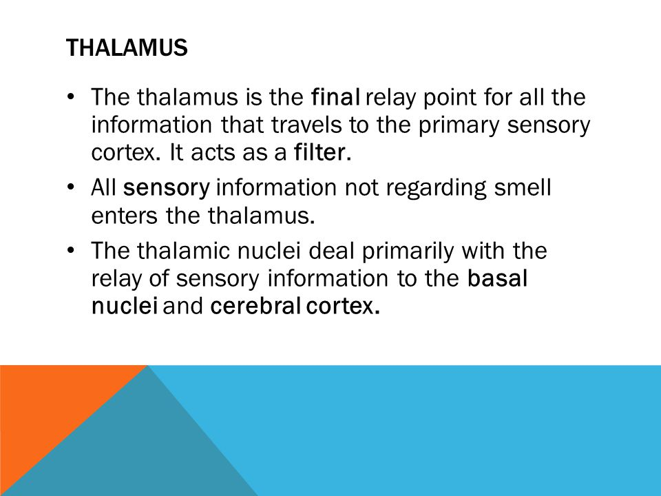 THALAMUS The thalamus is the final relay point for all the information that travels to the primary sensory cortex. It acts as a filter. All sensory in