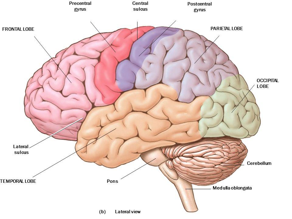 (b) Precentral gyrus Central sulcus Postcentral gyrus PARIETAL LOBE TEMPORAL LOBE OCCIPITAL LOBE Cerebellum Medulla oblongata Pons Lateral sulcus FRONTAL LOBE Lateral view