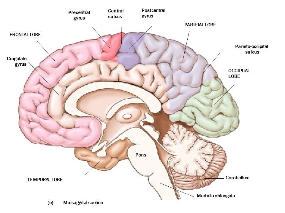 (c) Precentral gyrus Central sulcus Postcentral gyrus PARIETAL LOBE TEMPORAL LOBE OCCIPITAL LOBE Cerebellum Medulla oblongata Pons FRONTAL LOBE Cingulate gyrus Midsaggital section Parieto-occipital sulcus
