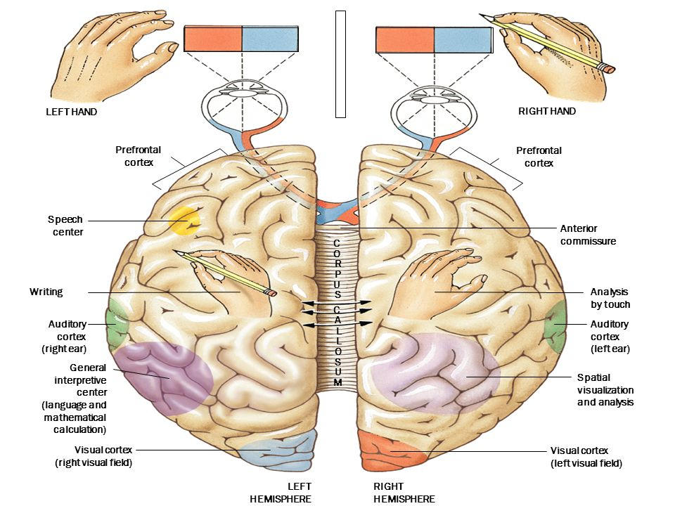 Writing Auditory cortex (right ear) LEFT HEMISPHERE RIGHT HEMISPHERE General interpretive center (language and mathematical calculation) LEFT HAND Pre