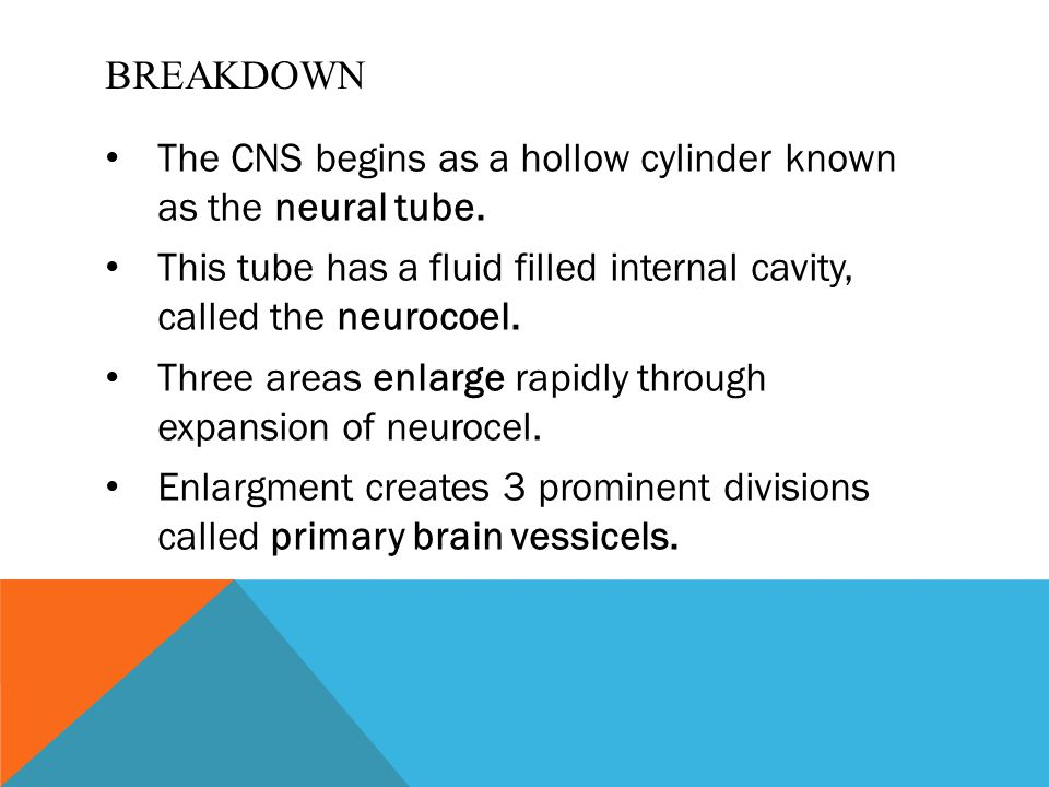 BREAKDOWN The CNS begins as a hollow cylinder known as the neural tube. This tube has a fluid filled internal cavity, called the neurocoel. Three area