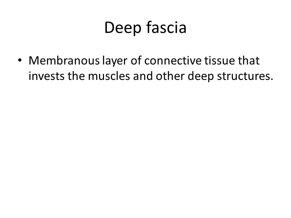 Deep fascia Membranous layer of connective tissue that invests the muscles and other deep structures.