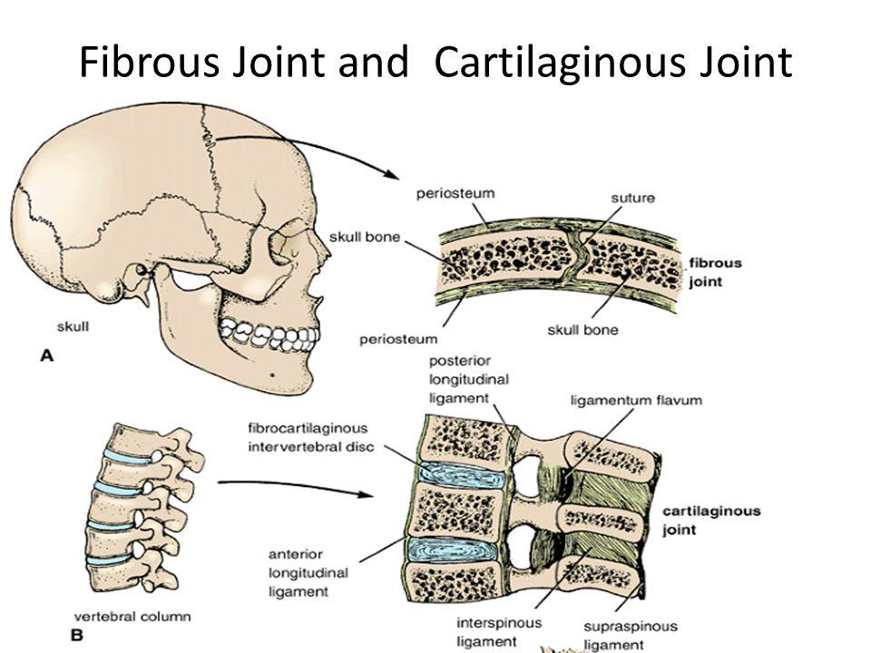 Fibrous Joint and Cartilaginous Joint